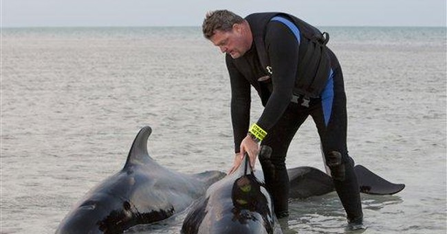 2 whales found stranded in Fla. Keys are released