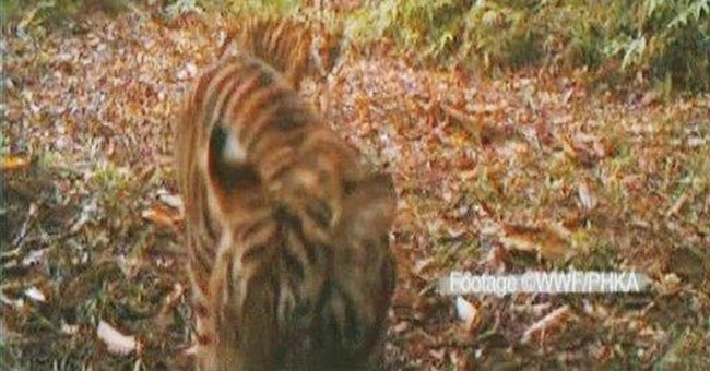 Endangered Sumatran tigers frolick on forest video