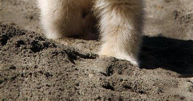 Polar bear cub was reviewed for return to Arctic