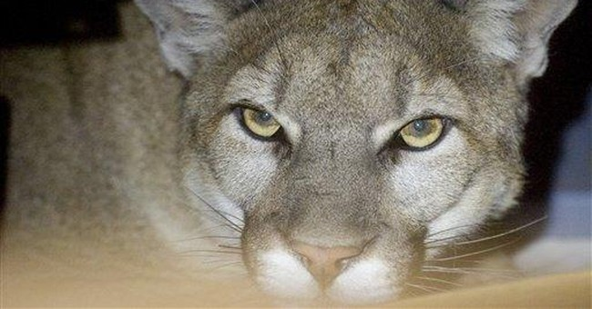 California family finds mountain lion in garage