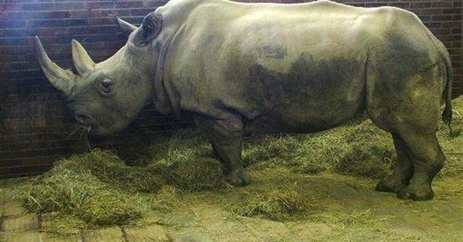 Rare white rhino dies in Czech zoo
