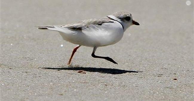 Missouri River flood may aid protected birds, fish