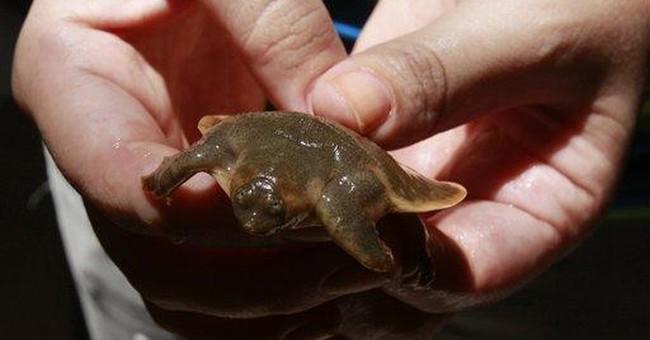 Center opens to protect rare turtle in Cambodia