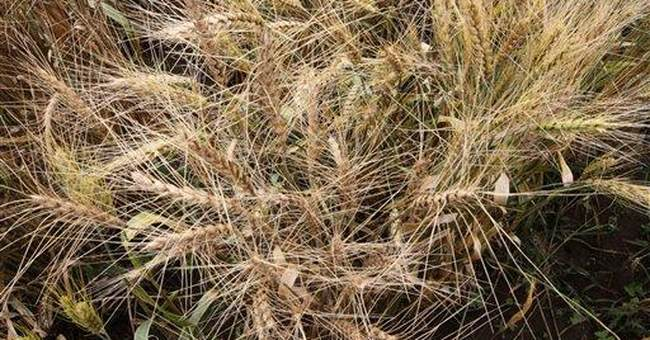Scientists: 'Super' wheat to boost food security