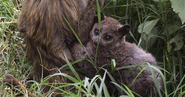 Kenyan baboon plays mother to bush baby