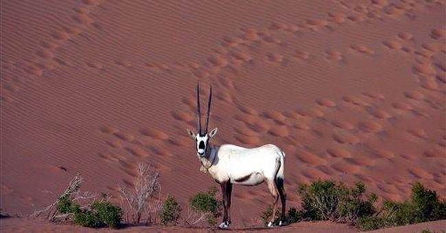 Arabian 'unicorn' thrives again in wild