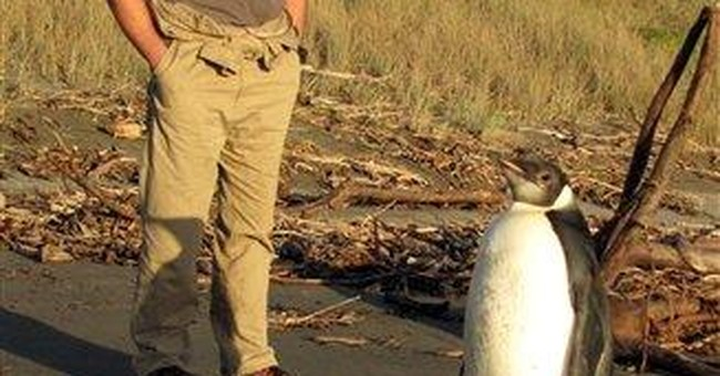Penguin takes wrong turn, ends up in New Zealand