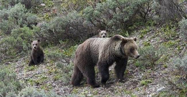 Grand Teton grizzly family causing bear jams