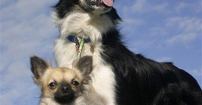 UK shelter shows off its Chihuahua-turned-sheepdog