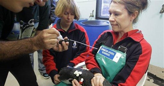 South African scientists to track penguins in wild