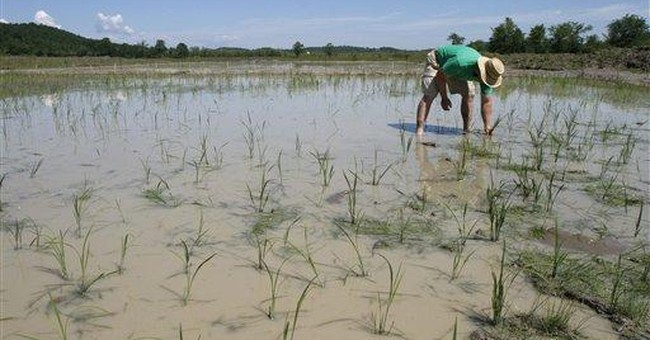 Vermont farmer experiments with cold-hardy rice