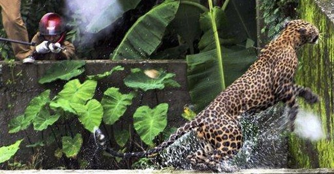 Leopard injures 11 people in India before dying