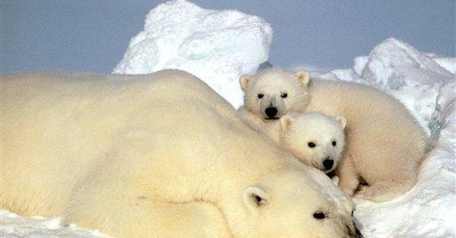 Long-distance swims may cause polar bear problems