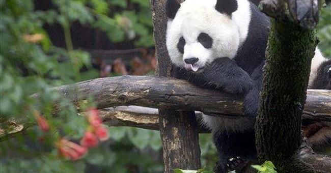 National Zoo: Panda watch ends in false pregnancy