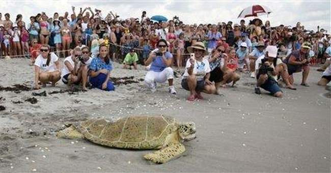'Miracle turtle' released as crowd cheers in Fla.