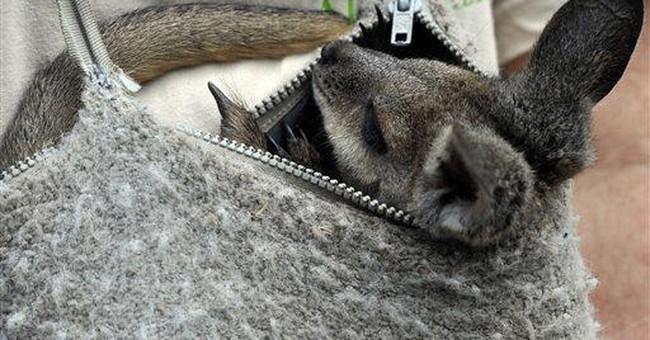 Hungarian zoo nurses baby wallaby back to health