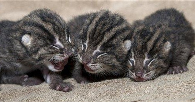 3 endangered Asian fishing cats born at Ohio zoo