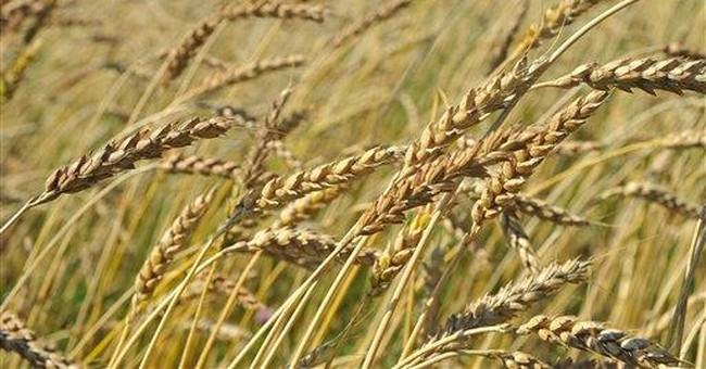 Local wheat sees revival in former grain states