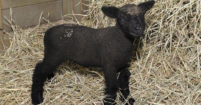 NYC zoo welcomes lamb born as Irene approached