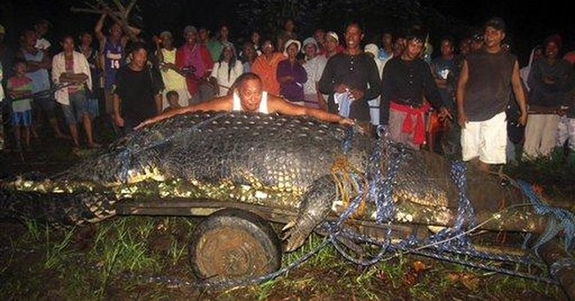 Captured giant croc not eating, checked for stress