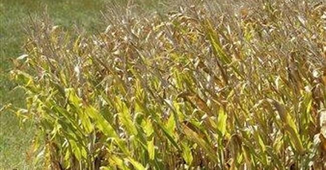 Sheriffs: Tall corn creates hazard on rural roads