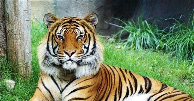 Texas zoo: Tiger's killing of mate surprising