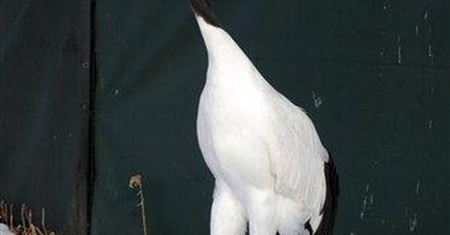 Japan sends endangered red-crown cranes to Taiwan