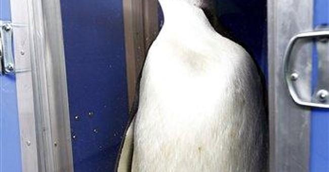 'Happy Feet' penguin vanishes on his way home