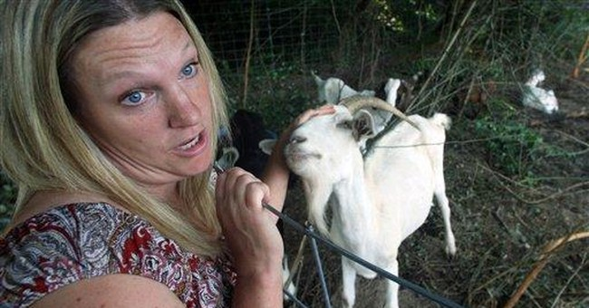 Goats put to work clearing land in Portland