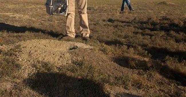 Biologists celebrate comeback of endangered ferret
