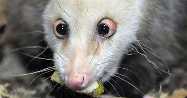 Germany's cross-eyed opossum, Heidi, dies