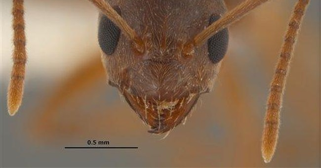 Hairy, crazy ants invade from Texas to Miss.