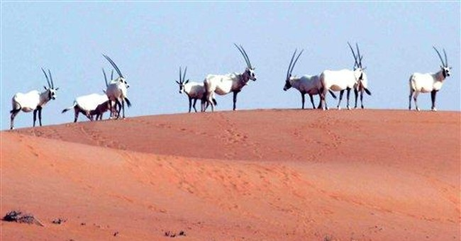 With Arizona help, fabled Arab antelope lives anew