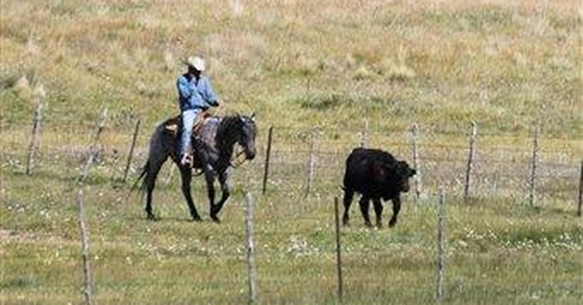 Scientists study high altitude sickness in cattle