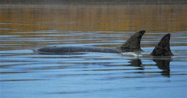 Killer whales near Alaska village, appear stressed