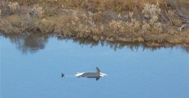 Necropsies show no obvious causes for whale deaths