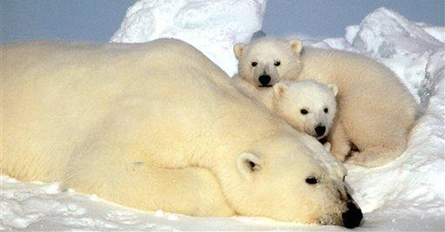 Federal judge orders more review on polar bears