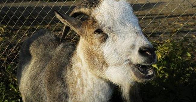 Swiss nationalists celebrate return of goat mascot