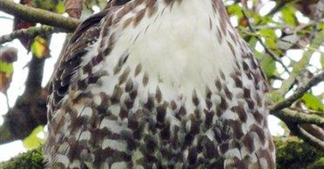 Hawk found with nail in head recovering in Calif.