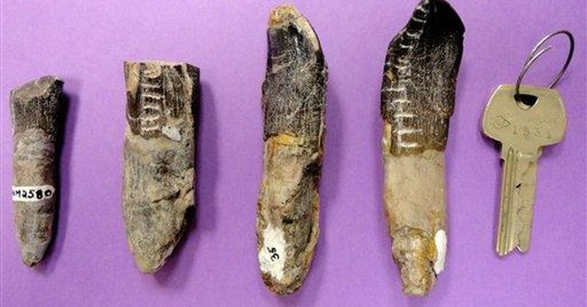 Teeth study shows big dinosaurs trekked for food