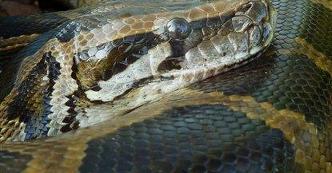 Pythons' big hearts hold clues for human health