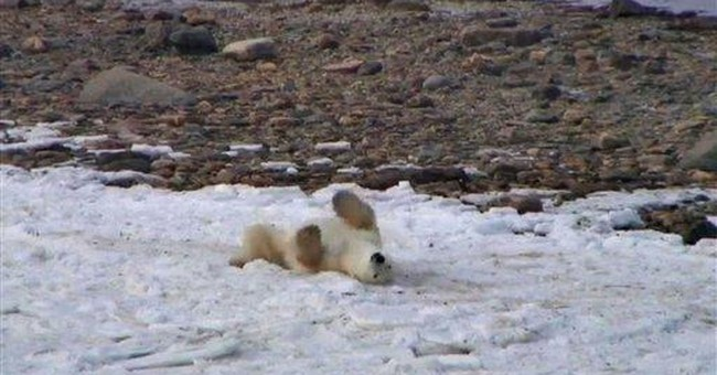 Cameras stream Canadian polar bear migration