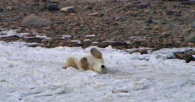 Cameras stream Canadian polar bear migration