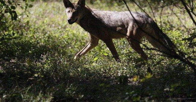 Rare wolves raised near NYC for return to the wild
