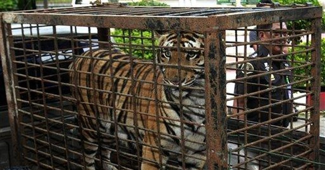 Interpol works to save Asian tigers