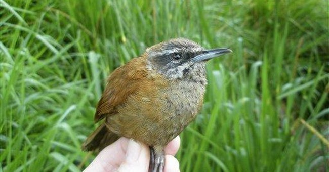 Warbling wrens don't just tweet, they sing duets