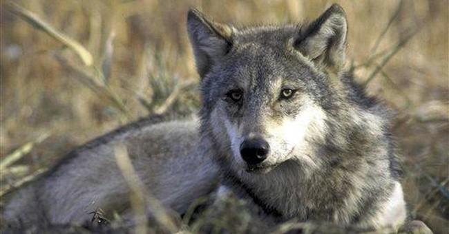 Idaho and Montana state wolf hunts head to court