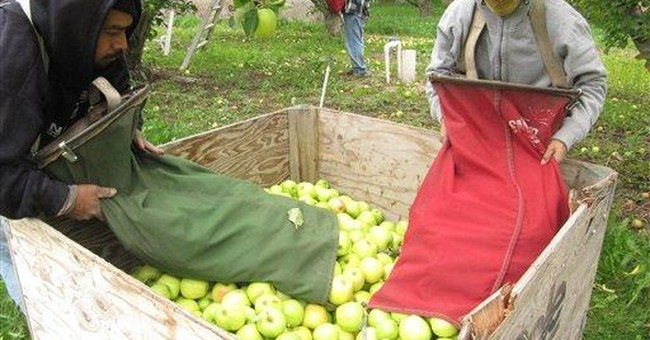 Washington orchards desperate for apple pickers