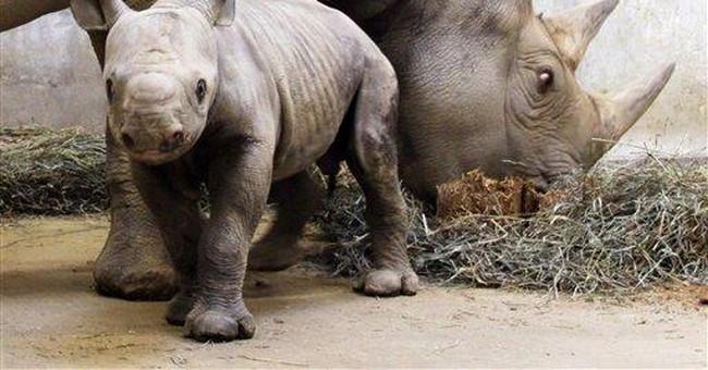 Rhino subspecies vanishing from the wild