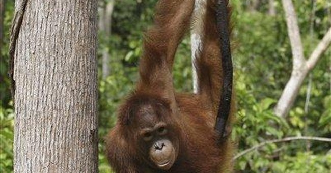 Survey: Indonesians killed 750 orangutans in year